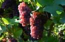 raisins عنب