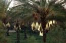 palmiers-dattiers-ksar-ghilane tourisme واحة تمور