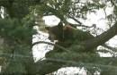 الامساك بدب أسود قرب مدرسة ثانوية في ولاية كاليفورنيا