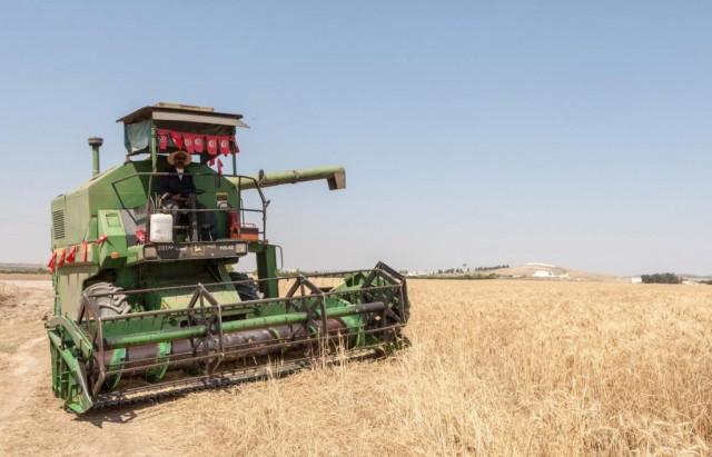 فلاحة قمح حصاد  agriculture ble