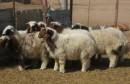 mouton  خروف  علوش