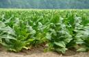 نبات التبغ