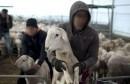vol des moutons