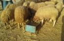 alloucheee  mouton