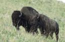 american-bison-bison_w725_h485-640x411