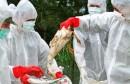 انفلونزا_الطيور