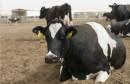 vache بقر
