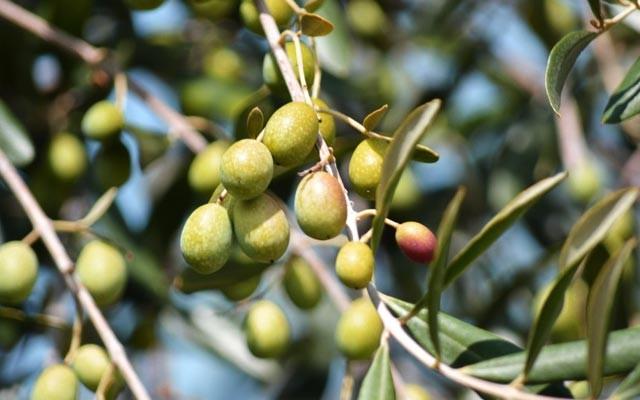 oliver شجرة زيتون