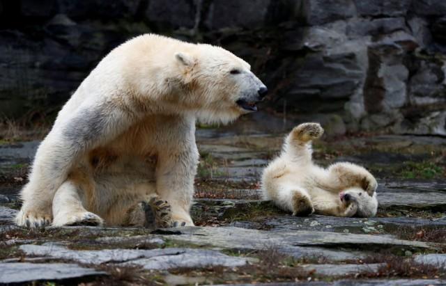 أنثى دب قطبي صغيرة تظهر لأول مرة في حديقة حيوان في برلين